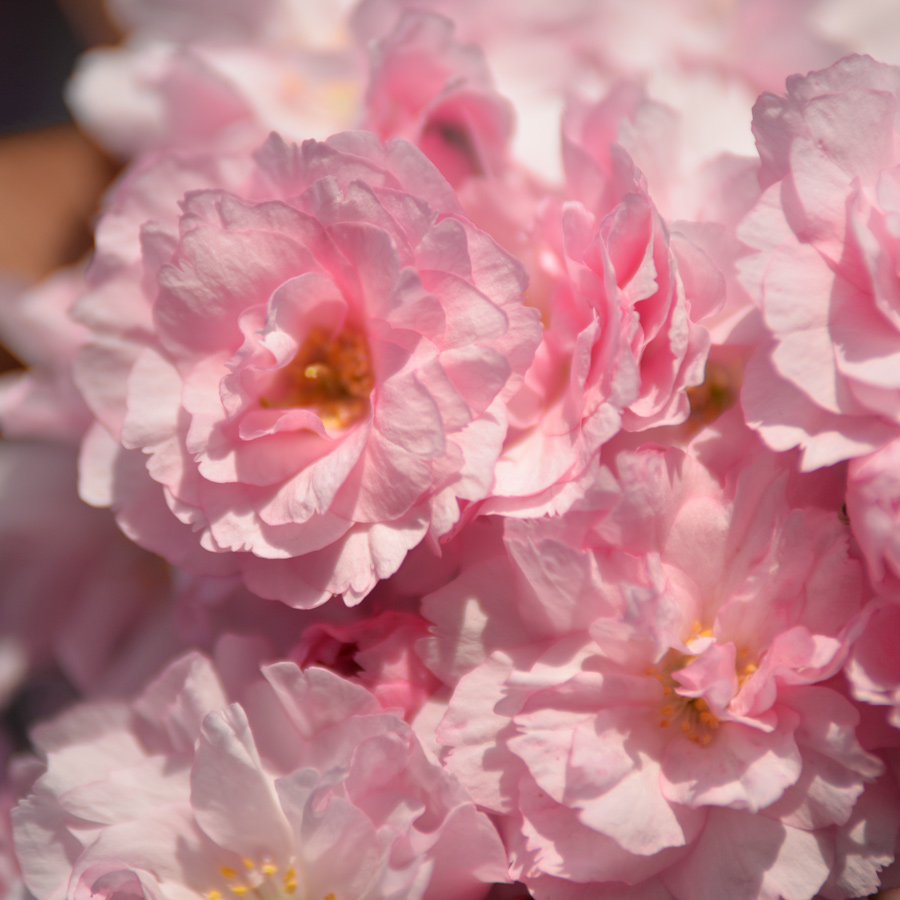 Abbots Langley blossom photos